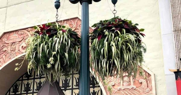 Spider plants growing outside in baskets