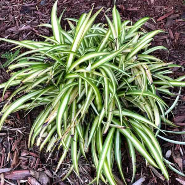 Spider plant outside planted in the landscape