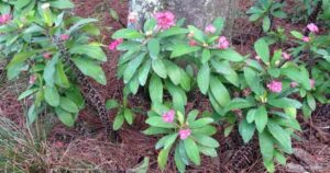 Can You Grow Crown of Thorns Plant Outdoors?