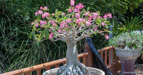 Potted Adenium arabicum
