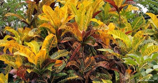 Croton fertilizer