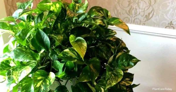 Pothos fertilizer - PlantCareToday shares tips on proper fertilize for your pothos.