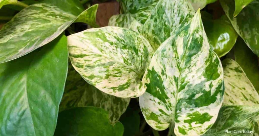Pothos in a potted plant, this is the detail of green leaf of garden tree. Some leaves are 2 tone , dark green and white mix with light yellow.