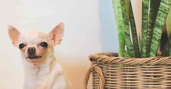 A white short hair chihuahua dog sitting by the basket of Snake plant (Sansevieria)