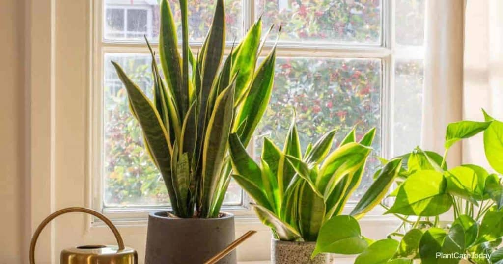 Snake plants growing in window with bright light