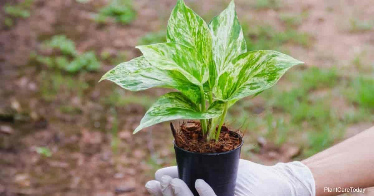 Hand holding green Epipremnum aureum (Pothos) pot at home garden