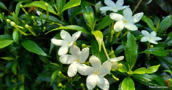 Close up green Gardenia jasminoides (gardenia, cape jasmine, cape jessamine)