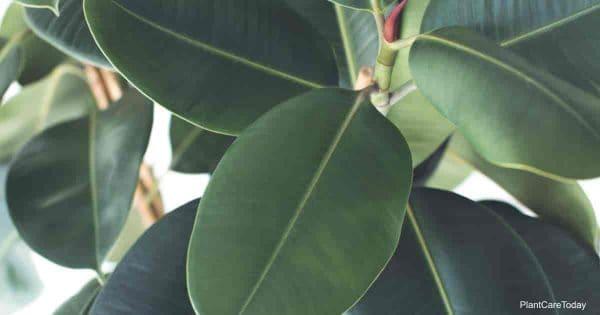 Green, leathery leaves of Ficus Elastica