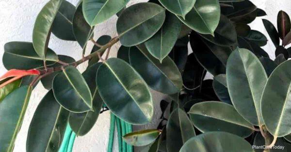 rubber plant Ficus elastica