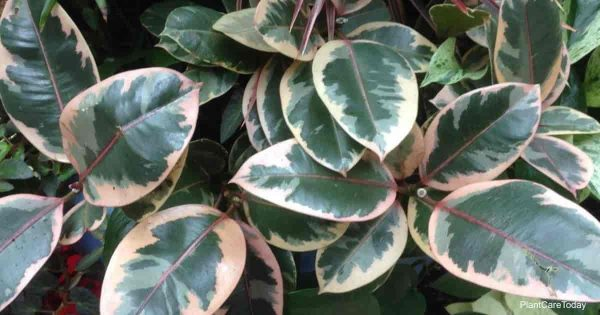 Attractive leaves of the variegated Rubber plant