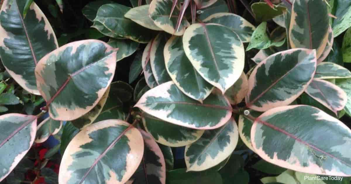 Colorful leaves of the variegated Rubber plant