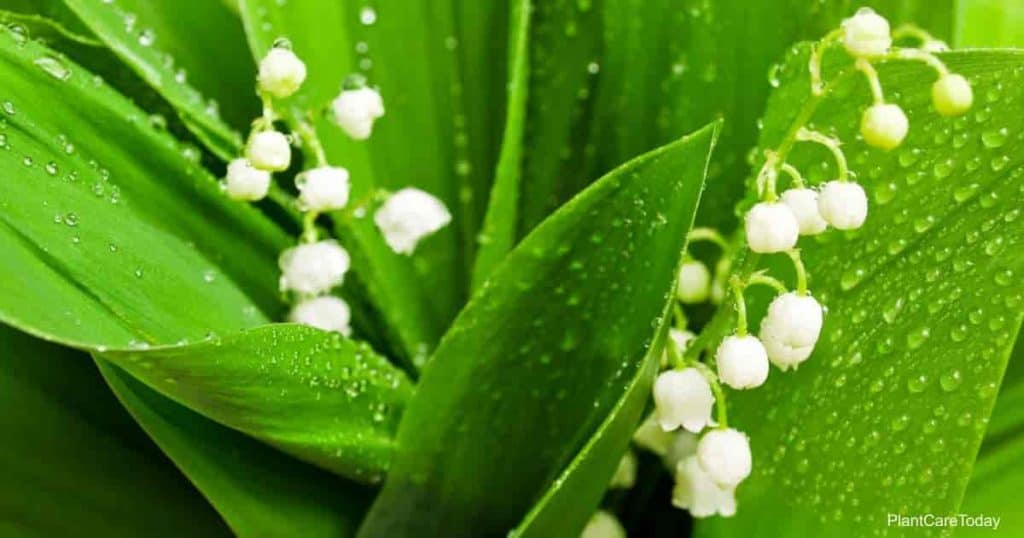 Some consider a Lily of the valley plant an invasive plant.