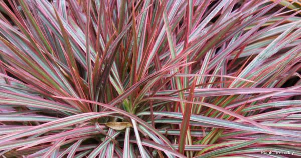 Attractive leaves of Dracaena Colorama