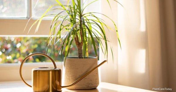 watering Dracaena plants