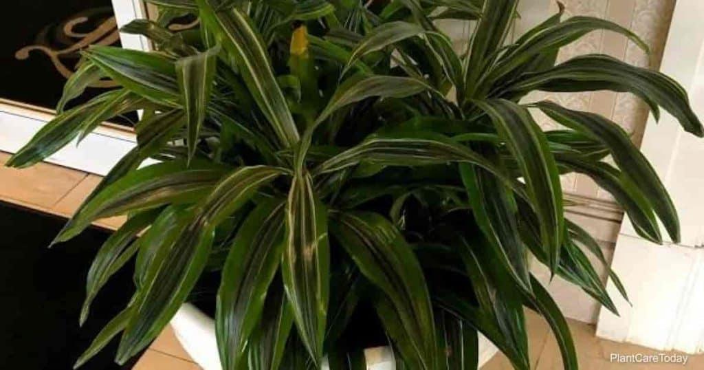 Dracaena plants are prone to fluoride toxicity