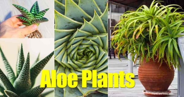 Care of assorted Aloe plants