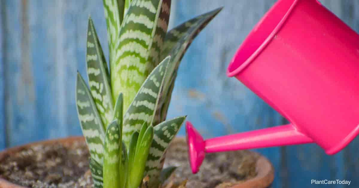 Watering aloe plant should be done with care