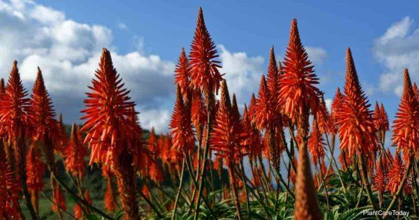 Aloe plant in bloom growing outdoors