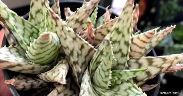 Aloe plant turning brown