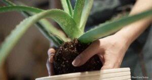 What Soil Is Best For Aloe Plants?