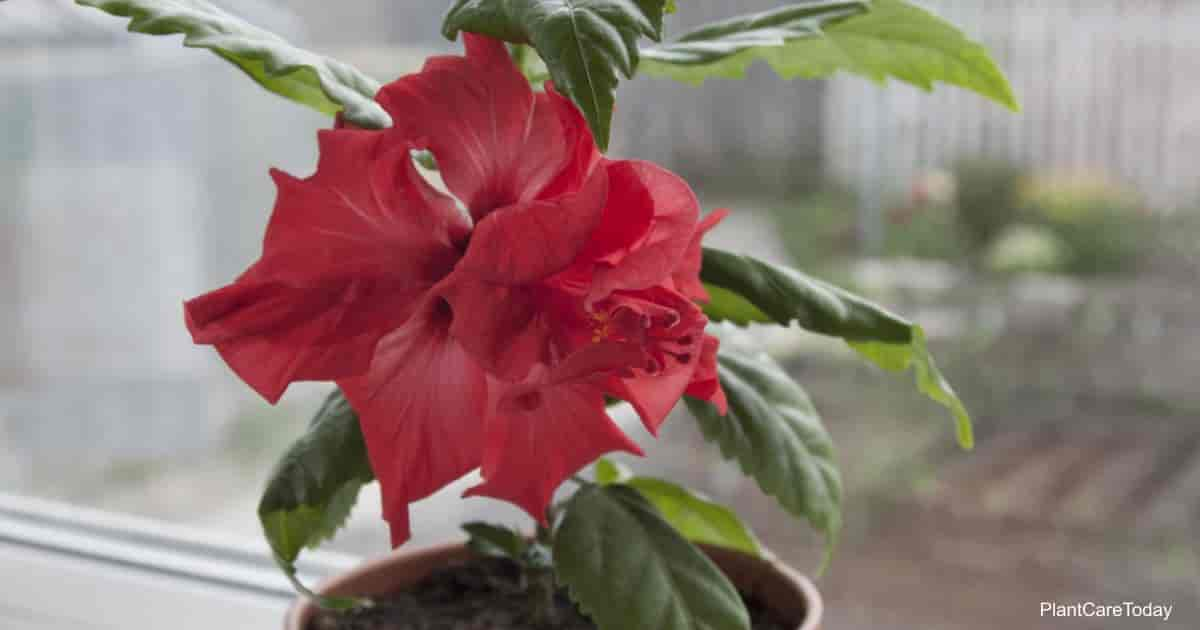Hibiscus in a pot on the window
