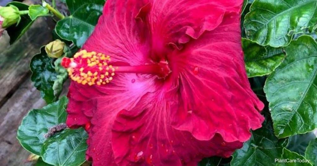 Hibiscus Sun Requirements