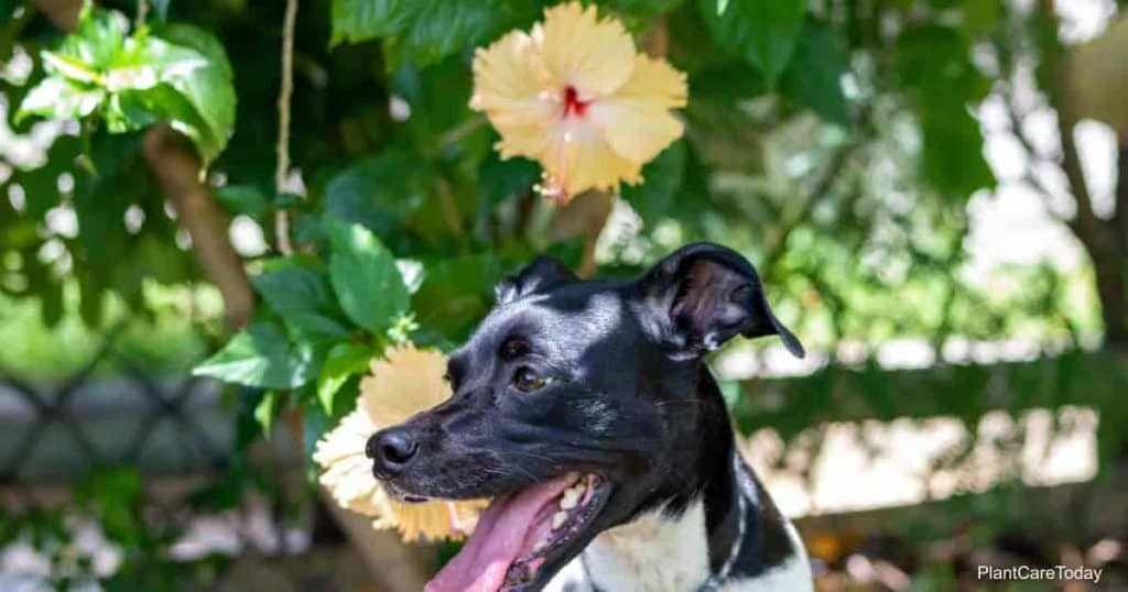 dog outdoors with Hibiscus plant and flowers