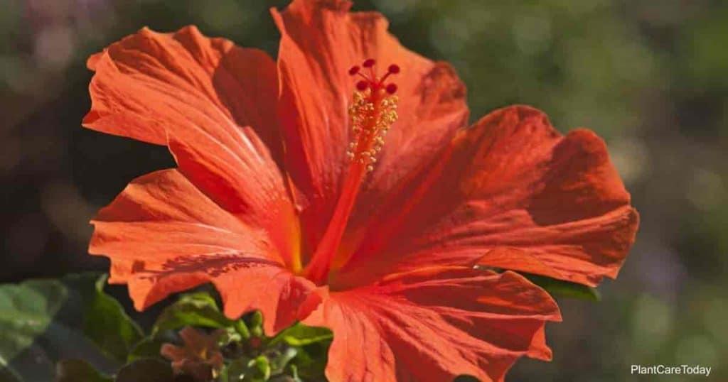 Red Hibiscus flower (Hibiscus) in full sun
