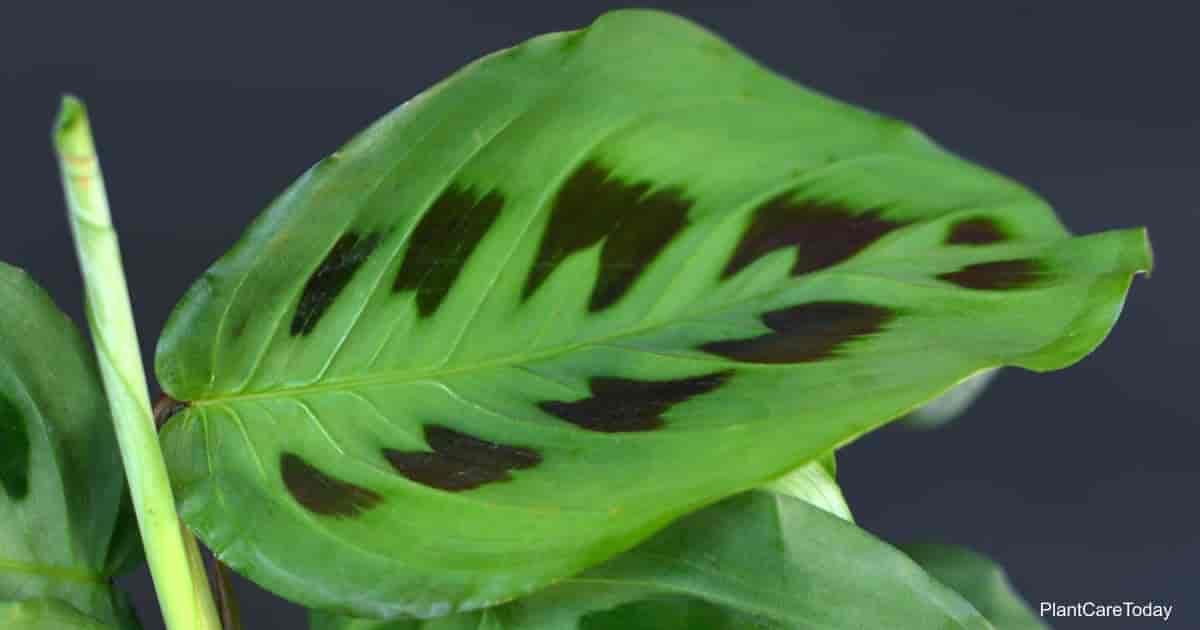 Close up of bright green exotic 'Maranta Leuconeura Kerchoveana' Prayer Plant leaf with unique black pattern