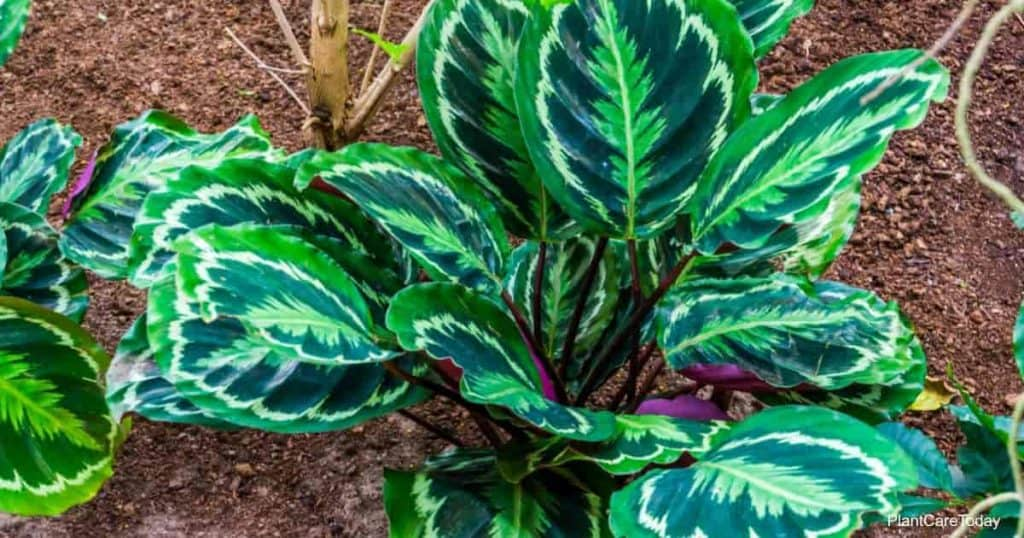 Calathea medallion, rose painted prayer plant from Brazil