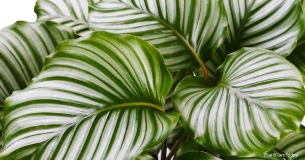 Beautiful leaves of Calathea Orbifolia