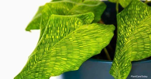 crisscross leaf patterns of Calathea Musaica