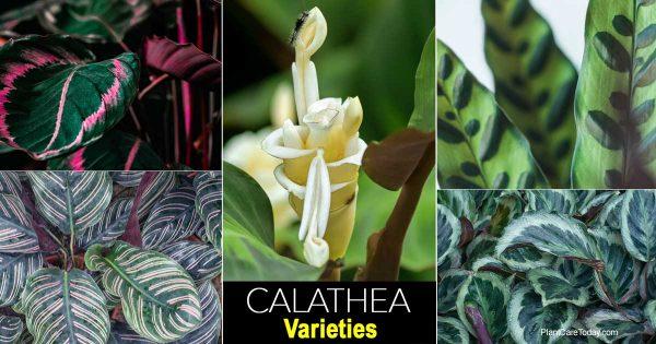assorted calathea varieties