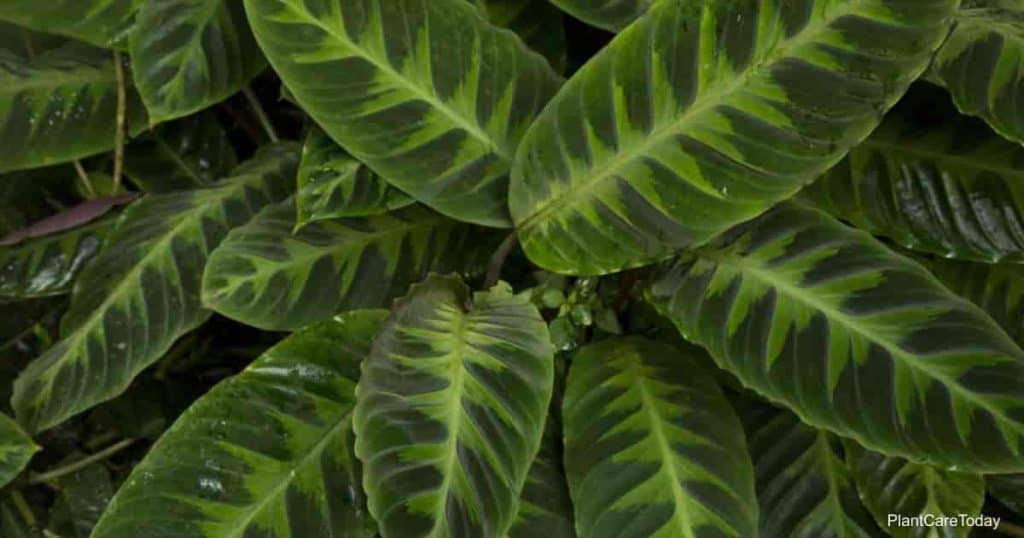 Velvet leaves of (Calathea) Goeppertia warszewiczii)