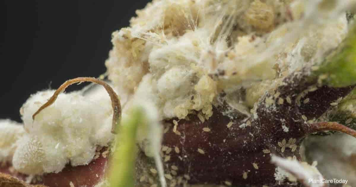 White waxy fuzzy sticky stuff on plants - mealybugs pseudococcidae