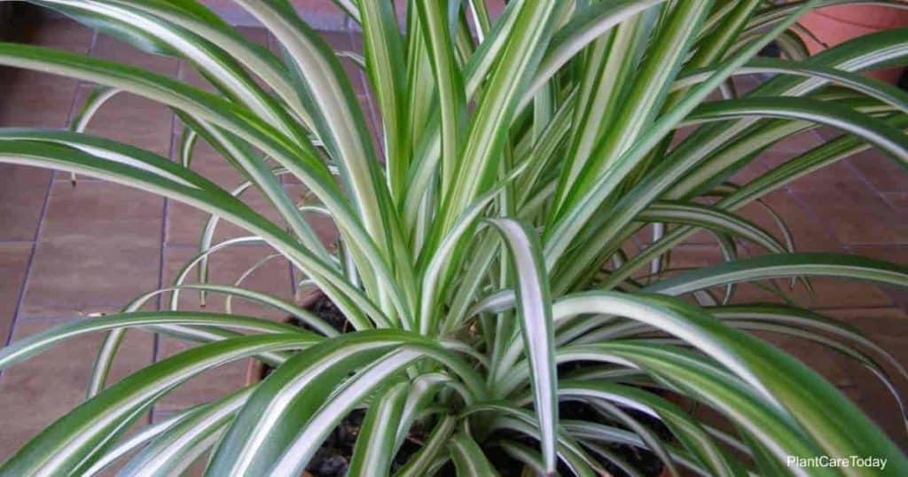 Spider Plant - Chlorophytum comosum aka airplane plant, St Bernard lily, spider ivy or ribbon plant