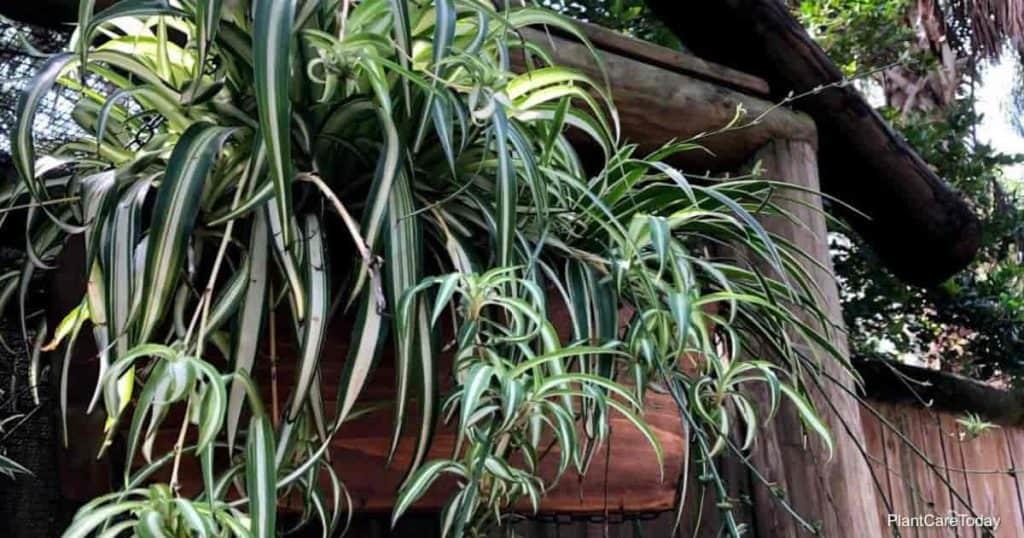 do spider plants flower