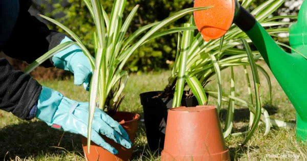 Repotting Spider Plant