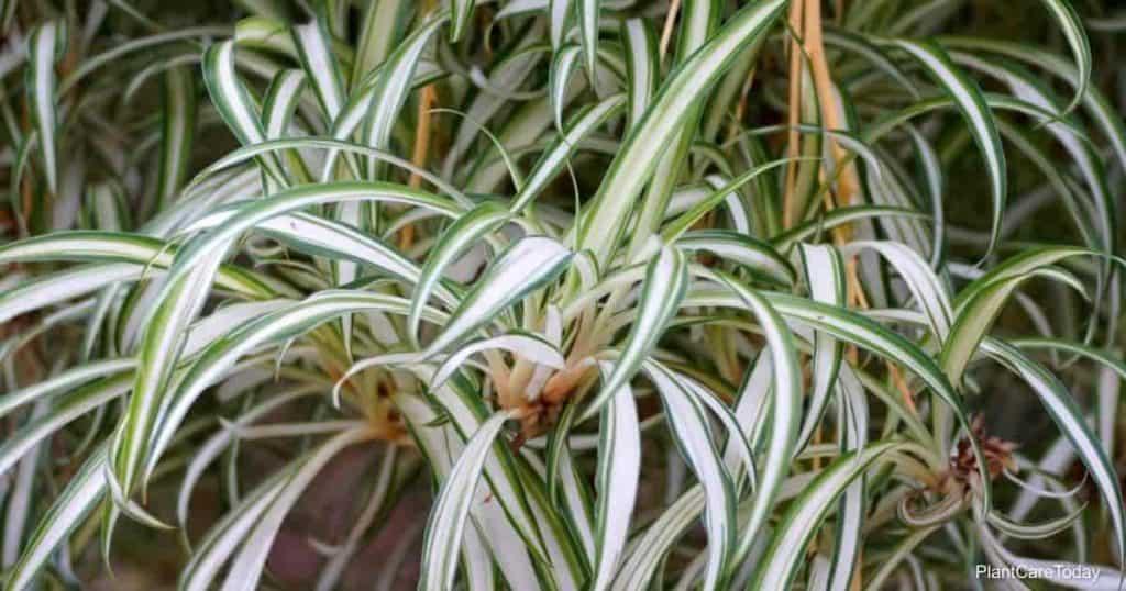 root bound spider plant