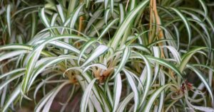 Should You Panic If Your Spider Plant Is Root Bound?