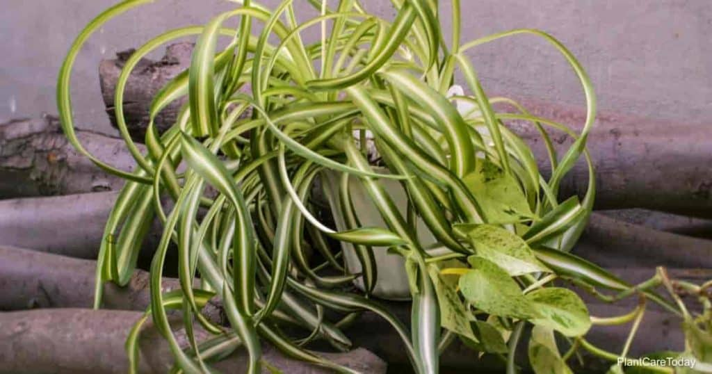 What is the best spider plant?