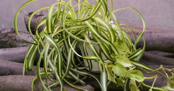 spider plant soil what is the best kind?