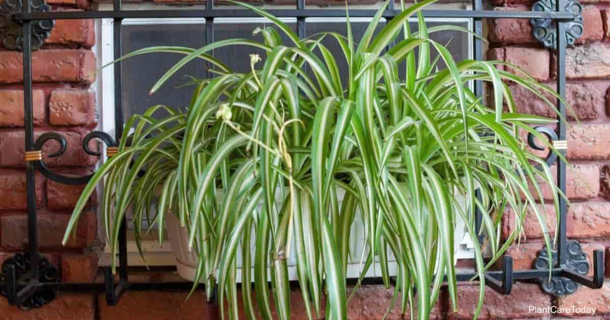 Chlorophytum (spider plant) in flowerpot window | rootstocks-DepositPhotos