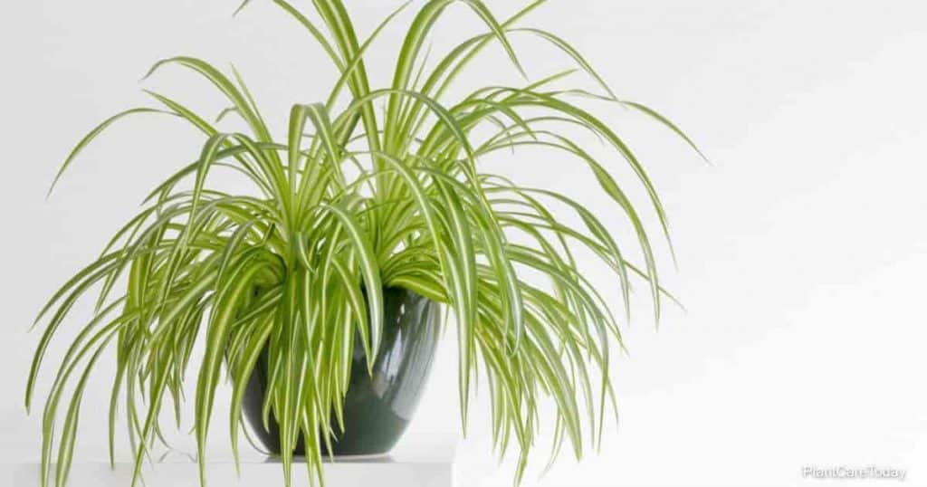 potted spider plant grows better with fertilizer