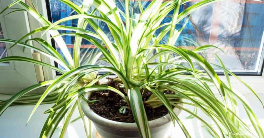 light requirements of spider plants
