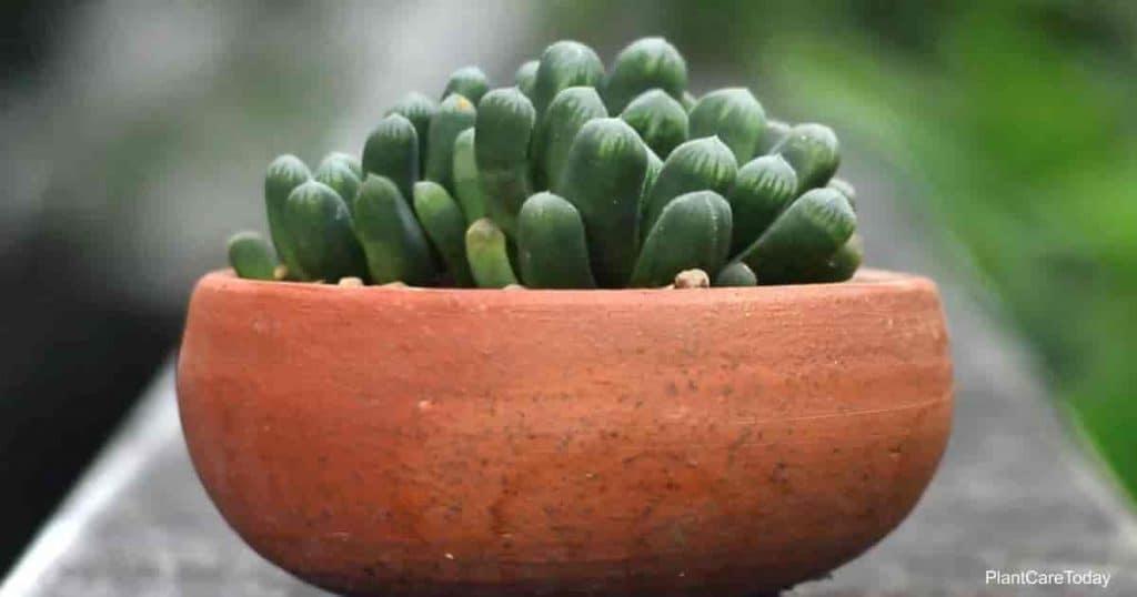 Succulent Haworthia obtusa