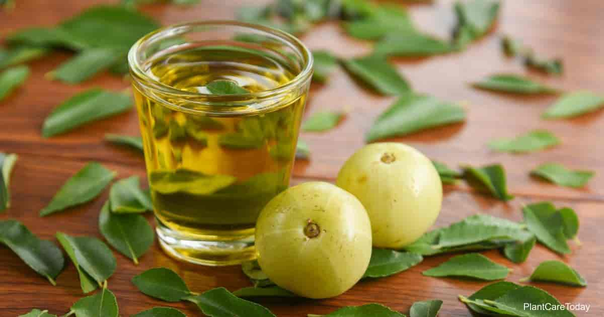 Neem oil - what is it and how is it used in the garden