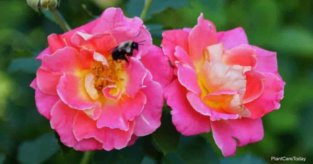 tips on transplanting knockout roses