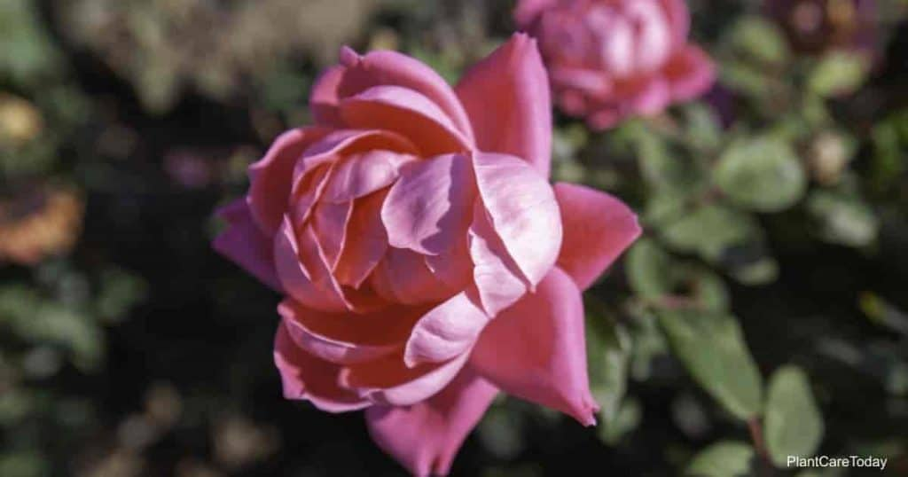 Pink Double Knock Out rose flower - Deep pink.