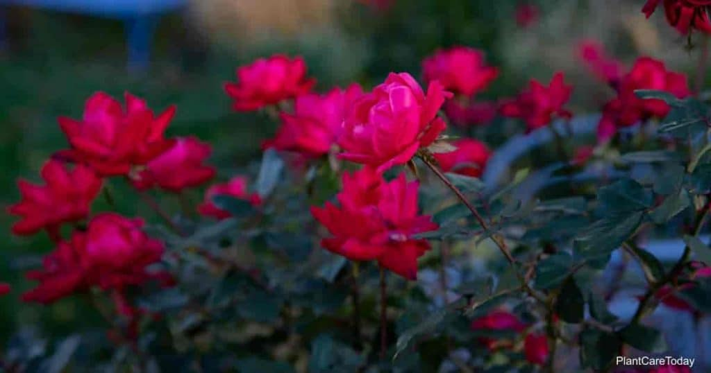 blooming knockout roses